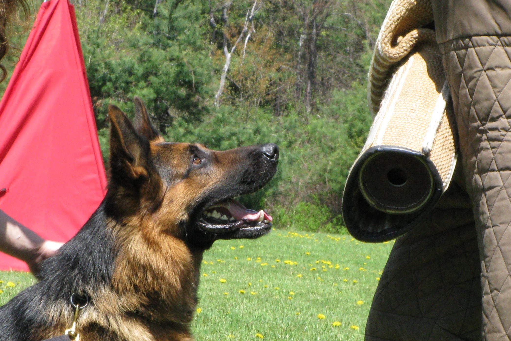 Adopt a german shepherd puppy in massachusetts
